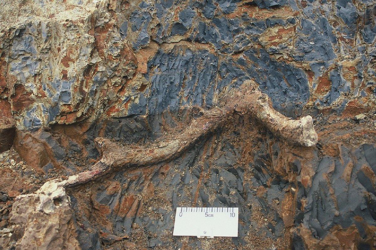 ふるさとの宝物 第180回 ニホンジカの化石