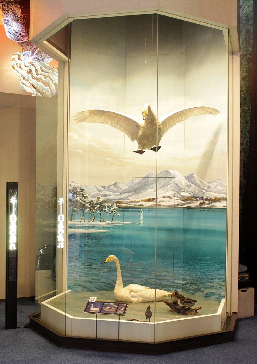 ふるさとの宝物 第182回 県の鳥「ハクチョウ」