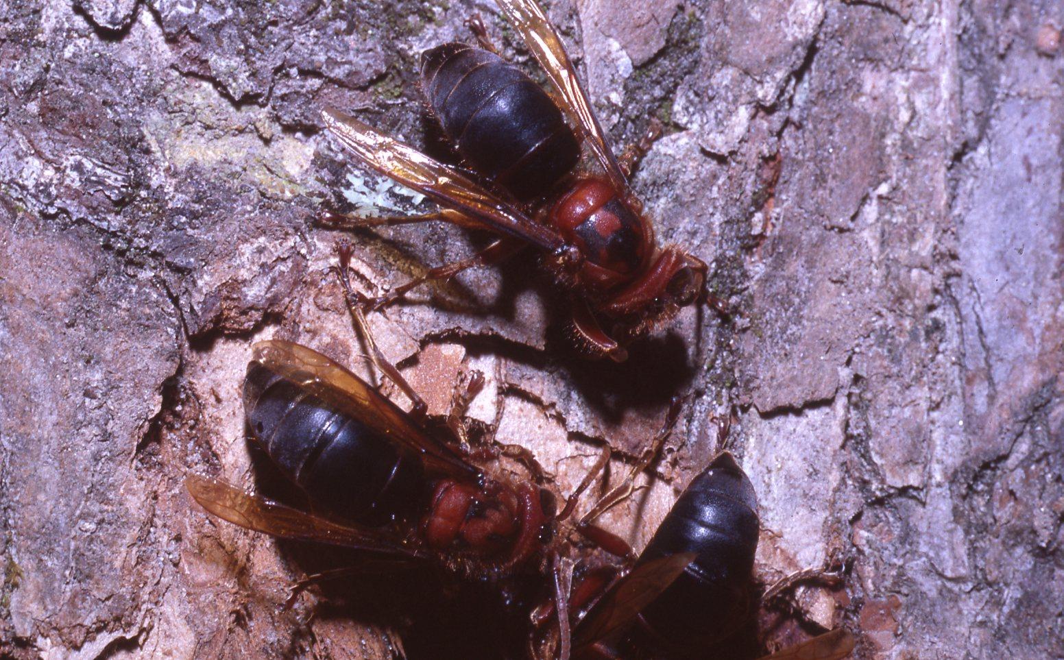ふるさとの物語 第54回「チャイロスズメバチ」~ほかのハチの巣で子育て~