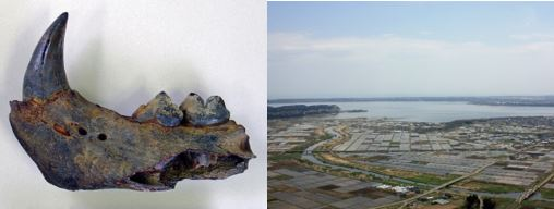 ふるさとの物語 第107回 小川原湖と化石 ~大昔 トラやゾウ生息~