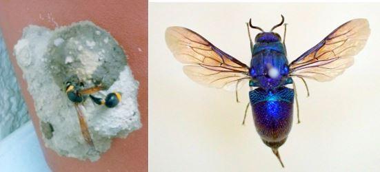 ふるさとの物語 第195回 オオセイボウ      ~宝石のような青い輝き~
