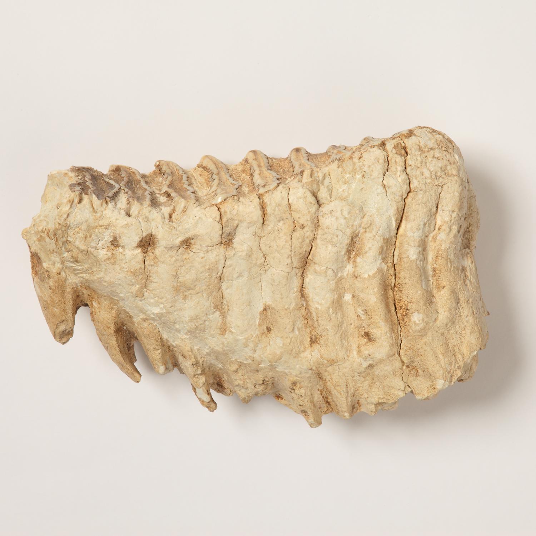 ナウマンゾウ左下顎第3大臼歯