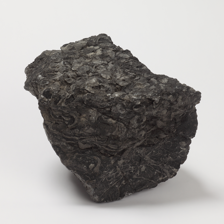 メガロドン科の小型種が密集する石灰岩